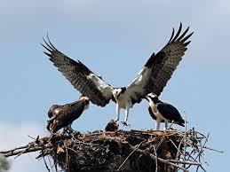 RETA osprey nesting image