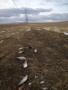RETA AltaLink duck deaths image
