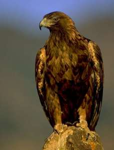 RETA golden eagle image