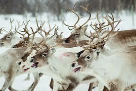 RETA reindeer image